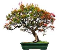chiński bonsai wiąz Zdjęcie Stock