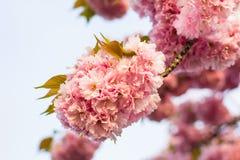 Chiński czereśniowy drzewo Zdjęcie Royalty Free