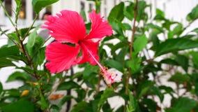 Chiński czerwieni róży poślubnik zbiory