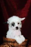chiński czubaty śliczny psi szczeniak zdjęcia royalty free
