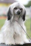 chiński czubaty pies Obrazy Royalty Free