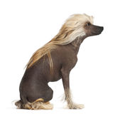 Chiński Czubaty Pies, starych 9 miesiąc, obsiadanie Obrazy Stock