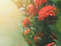 Chiński ixora lub ixora grono z zielonymi liśćmi zdjęcie royalty free