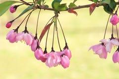 Chiński kwiatonośny crabapple Obrazy Stock