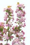 Chiński kwiatonośny crabapple Zdjęcie Royalty Free