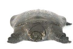 Chiński Miękki Shell żółw odizolowywający obrazy stock
