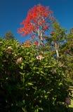 Chiński poślubnika poślubnik Rosa w przedpola i illawarra płomienia drzewa Brachychiton acerifolium w tle zdjęcia royalty free