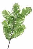 chiński redwood Zdjęcie Royalty Free