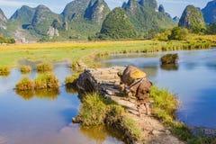 Chiński rolnik z wodnym bizonem, Chiny zdjęcia royalty free