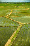 Chiński ryżu gospodarstwo rolne Fotografia Stock