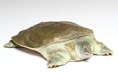 Chiński softshell żółw na bielu (Pelodiscus sinensis) zdjęcia royalty free