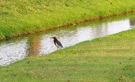 Chiński Stawowy Czapli ptak czeka niektóre jedzenie wokoło przykopu (Ardeola bacchus) Obrazy Royalty Free