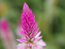 Chiński wełna kwiat Obrazy Royalty Free