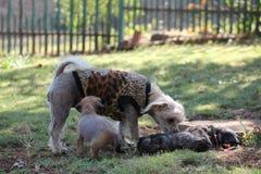 Chińskie Czubate Bezwłose kobieta psa ciucie - Gimly obraz stock