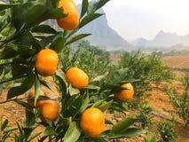 Chińskie małe cumquat pomarańcze Obraz Royalty Free