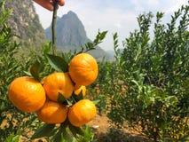 Chińskie małe cumquat pomarańcze w ręce Obrazy Royalty Free