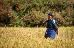 chińskie rolnika pola ryż pracy Obrazy Stock