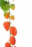 Chińskiego lampionu roślina Fotografia Royalty Free