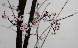 Chińskiego obrazu stylu bonkrety okwitnięcie Fotografia Stock