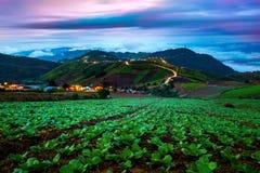 Chińskiej kapusty pole w wiejskim życiu Zdjęcie Royalty Free
