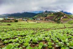 Chińskiej kapusty pole w wiejskim życiu przy Phu tubberk Fotografia Stock