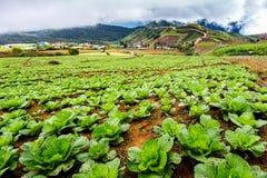 Chińskiej kapusty pole w wiejskim życiu przy Phu tubberk Zdjęcie Stock