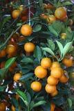 chińskiej mandarynki pomarańcze Zdjęcia Stock