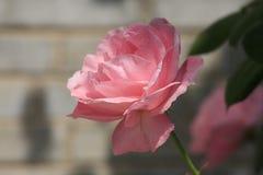 chińczycy rose Zdjęcie Stock