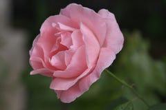 chińczycy rose Zdjęcie Royalty Free