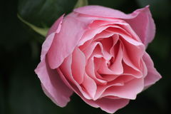 chińczycy rose Obraz Royalty Free