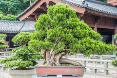 Chi Lin Nunnery Kowloon Hong Kong d'arbre de bonsaïs Images stock
