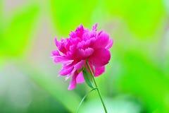chińska piwonii Fotografia Stock