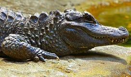 Chiński aligator Zdjęcie Royalty Free