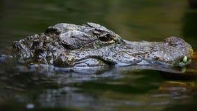 Chiński aligator zbiory wideo