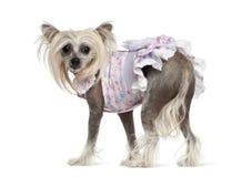 Chiński Czubaty Pies, target282_1_ 2 lat, Zdjęcie Stock
