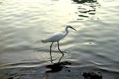 Chiński egret Zdjęcie Stock