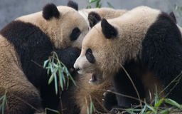 chiński gigantycznej pandy target853_0_ Zdjęcia Stock