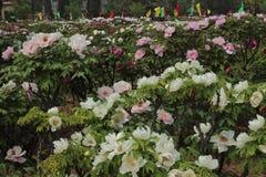 Chiński peonia kwiat Zdjęcia Stock