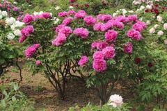 Chiński peonia kwiat Zdjęcie Stock