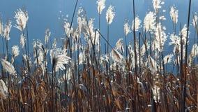 chiński trawy srebra Zdjęcie Stock