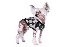chińskiego czubatego psa odosobniony biel zdjęcie royalty free