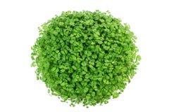 Chia播种Salvia最近发芽生长特写镜头的hispanica植物 免版税库存图片