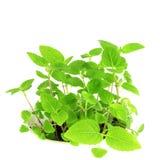 Chia种子植物在纯净的白色背景中 免版税库存图片