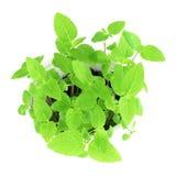Chia种子植物在纯净的白色背景中 免版税库存照片