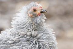 Chia a galinha Imagens de Stock