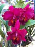 Chia lin y flor del conde del catt Fotografía de archivo libre de regalías