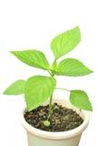 Chia plant Royalty Free Stock Photo