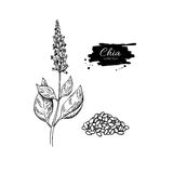 Chia plant and seeds  superfood drawing.  hand dra Stock Photos