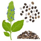 Chia plant and seeds vector illustration