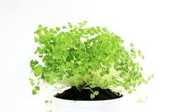 Chia sème l'usine de hispanica de Salvia poussant nouvellement l'élevage Image stock